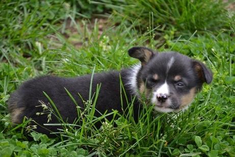 # ?? Quality Pembroke Welsh Corgi Puppies:....??** (347) 696-0307