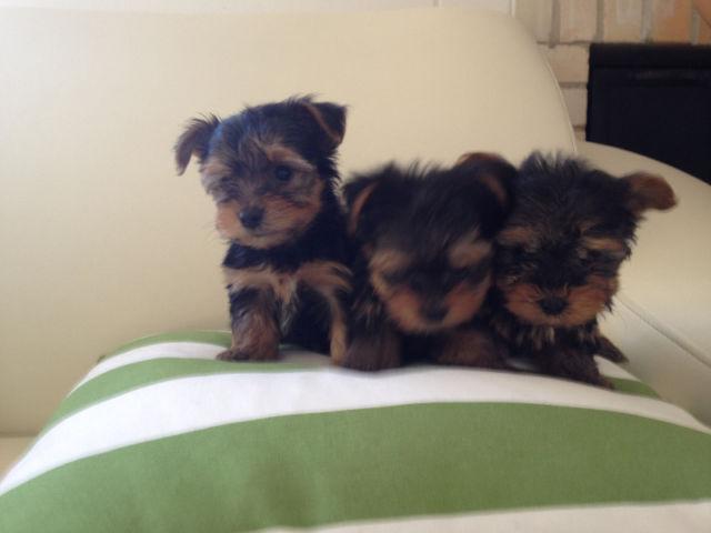 dfd charming Y.O.K.I.E.Puppies.s