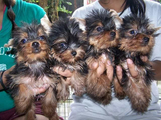 cv sweet registered healthy Y.O.K.I.E.Puppies.s