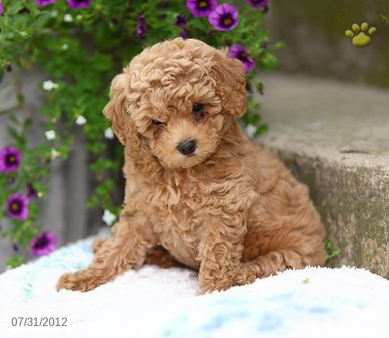 Pennysaver Akc Toy Poodle Pups Mf Available In El