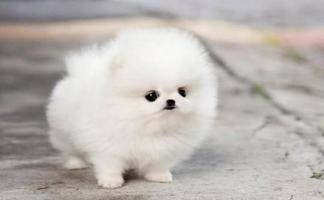 !!Male and Female Pomeranianss Puppies Available (612) 255 7606