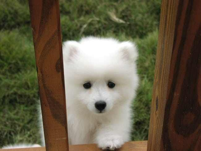 samoyed puppy looking for a new home
