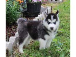 CUTE S.I.B.E.R.I.A.N. H.U.S.K.Y Puppies: contact us at (208) 682-7460