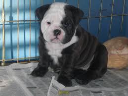 Affectionate M/F English B.u.l.l.d.o.g Puppies!!!(580) 382-2956