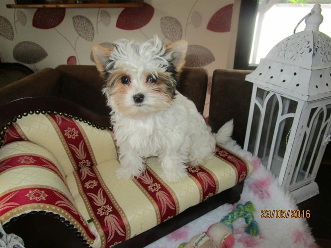 yorkshire terrier puppy for rehoming.
