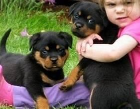CUTE R.o.t.t.w.e.i.l.e.r Puppies: contact us at.301-349-6530