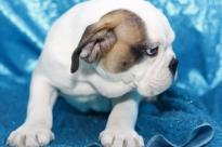 Gorgeous Englishh BullDogg puppies looking for good homes(443) 327-9760