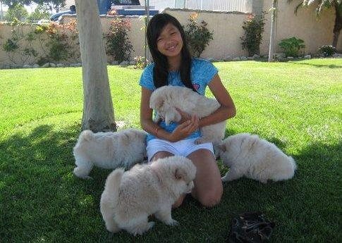 awesome chow chow puppies