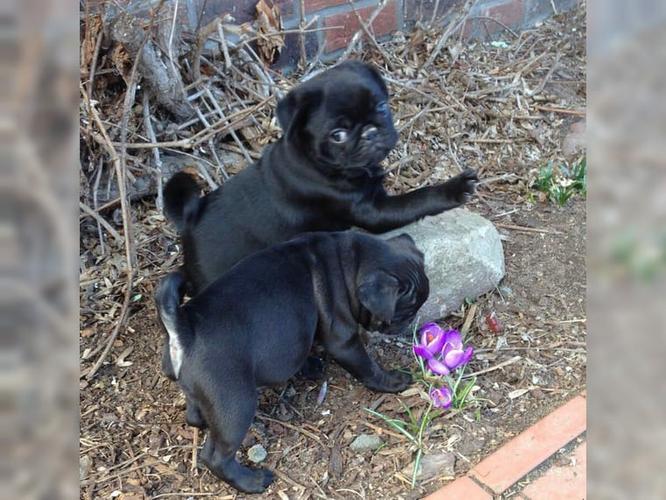 CUTIE P.U.G Puppies: contact us at (719) 937-7502
