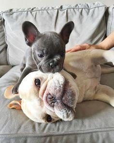 Free Quality and Quantity  Bulldogs Puppies:contact us at 7757735744