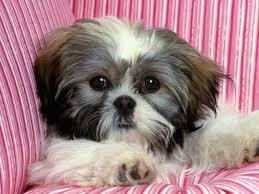 Free Shihtzu Gorgeous Puppies Notzu Gorgeous Puppies Not For Sell Free) Need Home