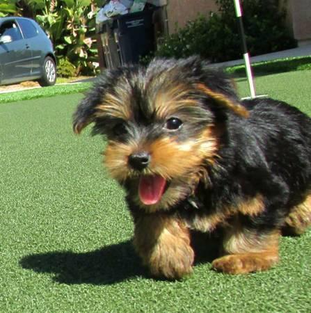 sweet Toy** Charming York.iee Pu.ppies # 303-632-9261