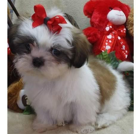 CUTIE S.H.I.H T.Z.U.Puppies: contact us at (301)539-2665