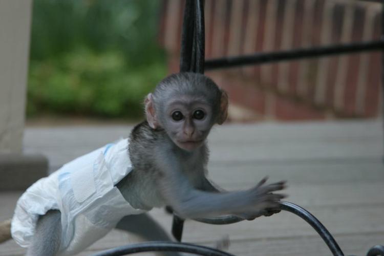 Quality Marmoset and Capuchins Monkeyss (469) 874-6255