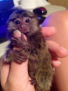 Awesome finger marmosets available for immediate Pickup(408) 650-8010