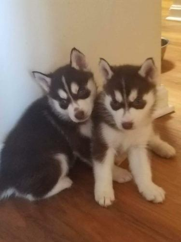 %$% Free Fantastic Female and Male H.u.s.ky Pu.pp.ies for new home %$% (801) 382-8732