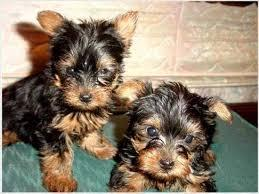 Yorkshire Terrier Puppies. text .(410) 246-9048/