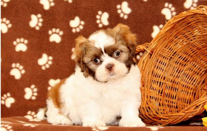Xmass FREE Cute s.h.i.h t.z.u Puppie.s210) 987-1248