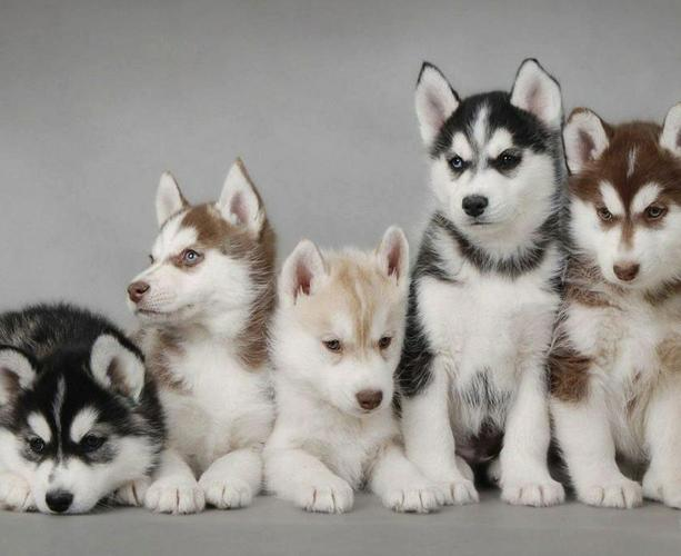 FREE Quality siberians huskys Puppies:contact us 712-522-3987