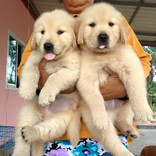 Adorable golden puppies for adoption