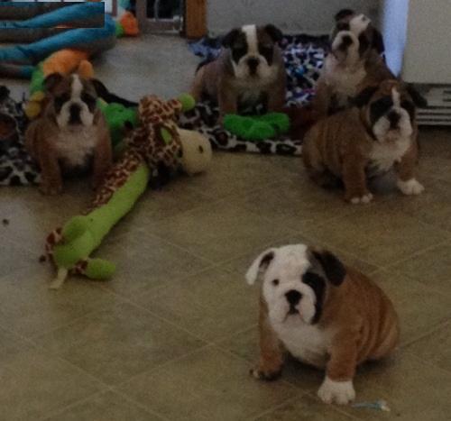 Pennysaver English Bulldog Purebred Puppies For Sale In