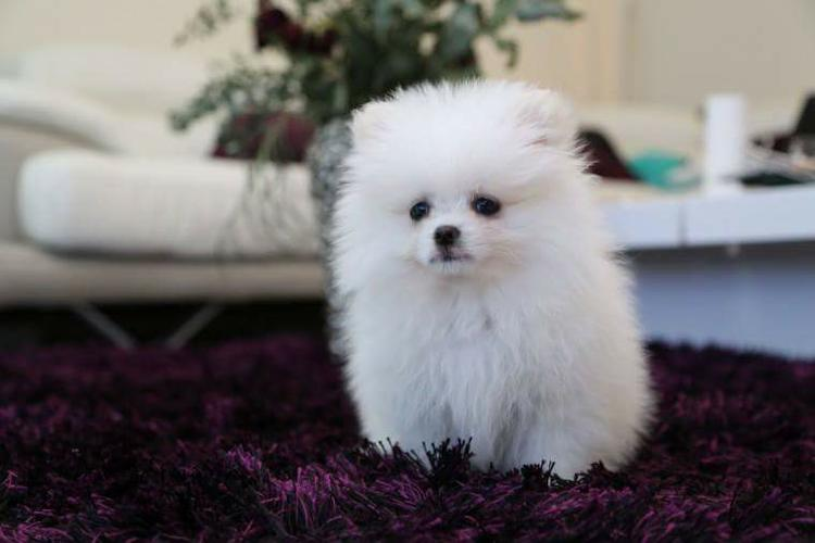 Cute little pomeranian puppies for adoption