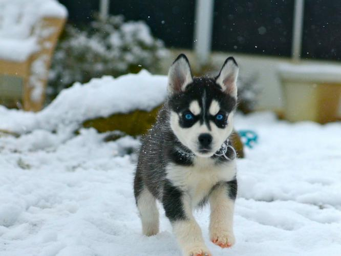 FREE Quality siberians huskys Puppies:contact us at(443) 333-1245