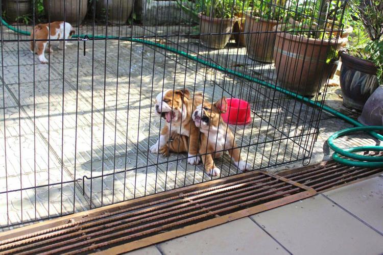 FREE Beautiful Eng.gl.ish Bu.ll.dog Pu.pp.ies Available (678) 909-8515