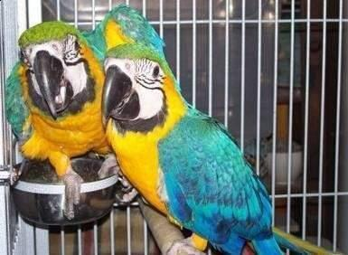 %100 Blue/Gold Macaws Fully feathered and a lovely character.