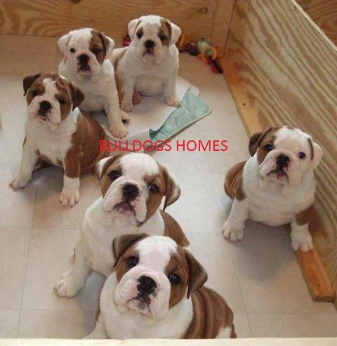 lovely and nice looking english bulldog puppies for adoption