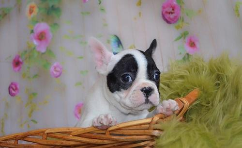 French Bulldog Puppies For Pets Lovers