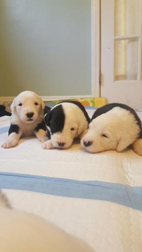 PennySaver   Old English Sheepdog Puppies in Los Angeles