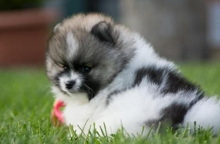 Adorable Pomeranian Teacup
