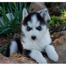 ??? FREE Blue Eyes male and female Siberi.a.n hus.k.y Pu.ppies ) Need Hom ???(707) 840-8141