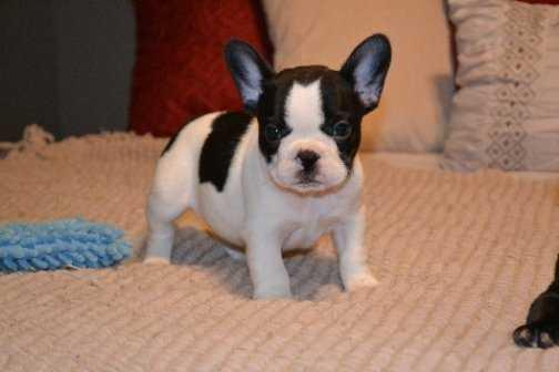 Pennysaver Friendly French Bulldog Puppies For Sale In El Paso