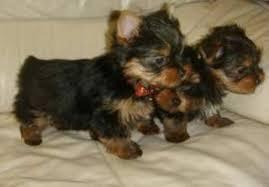 * # #  Quality Teacup Yorkies Puppies:....** (915) 400-6755