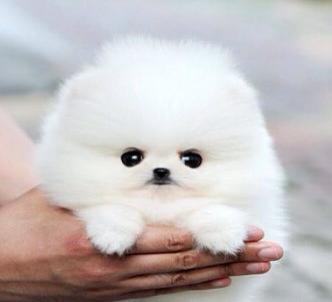Cute P.o.m.e.r.a.n.i.a.n Puppies Available sms at (252) 678-5431