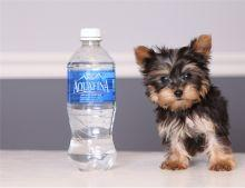 ?Y.o.R.k.i.e P.upp.i.e.s For F.r.e.e, ((985) 238-2099/Ready Now 12 Weeks Old #