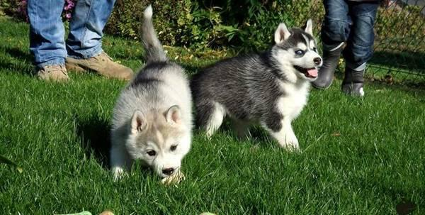 Quality siberians huskys Puppies:contact us at (757) 744-3791