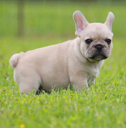 Frenchie pups**for rehoming (760) 585-4435