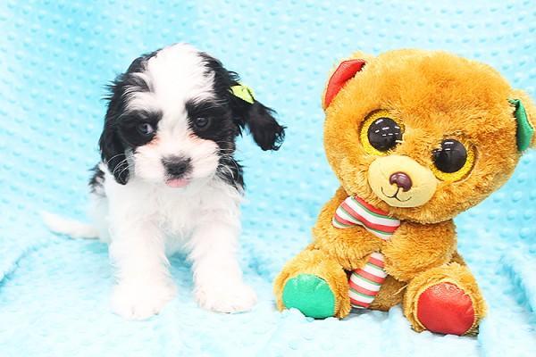 Adorable Mal-Spaniel Puppy!!