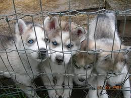 %$% Free Fantastic Female and Male H.u.s.ky Pu.pp.ies for new home %$% (757) 986-9898