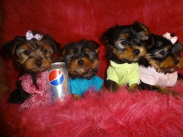 Cute Male and Female Yorkies Pu.ppies Available (502) 617-0541