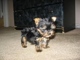 ????? Trained... ????Tea-cuP????Yorkies????Pu.ppies ?????#Available Now 12 weeks