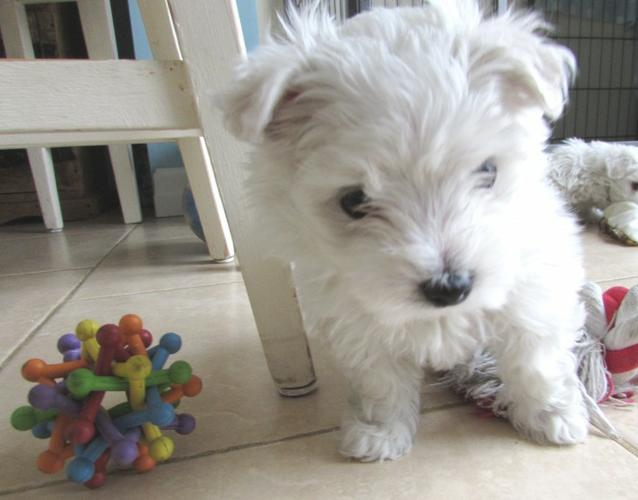Quality M.a.l.t.e.s.e Puppies:contact us at(405) 548-5704