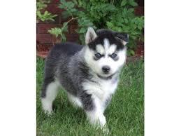 .Pure Siberians huskys Puppies:(646) 439-7064