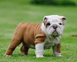 FREE Gorgeous Englishhh Bulldoggss Pu.ppPies Not For Sell Free) Need Home