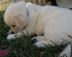 Top Quality Golde.n Retrieve.r Pups . (704) 326-0781
