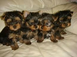 BEAUTIFUL Y.O.R.K.I.E.S Puppies: contact us at (512) 553-3823 any time