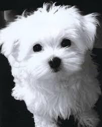 Top Quality Malteses Puppies:....contact us at (302) 595-1097